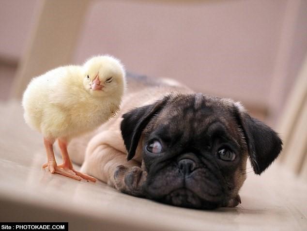 ماجرای دوستی عجیب سگ و جوجه با عکس,عکس دوستی سگ و جوجه خانگی,عکسهای عاشقانه و دوستی محبت در حیوانات,عکس سگ و جوجه رفیق,سگ عاشق جوجه کوچولو,عکس محبت حیوانات