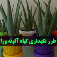 پرورش و نگهداری گیاه آلوئه ورا در منزل + نحوه تکثیر آلوورا