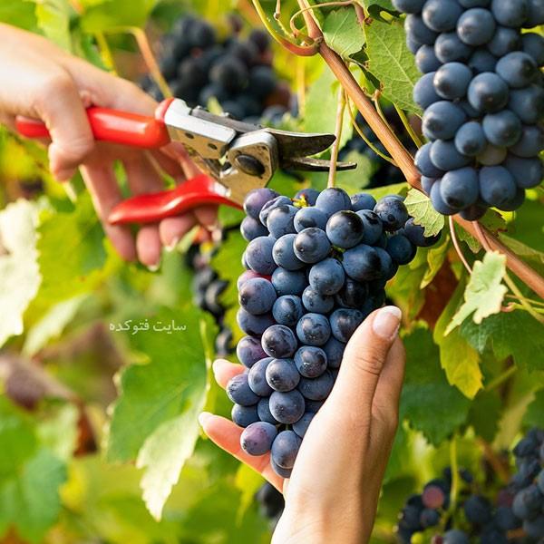 angor siah photokade com 4 - خواص انگور سیاه + ۲۲ فواید انگور سیاه با مضرات