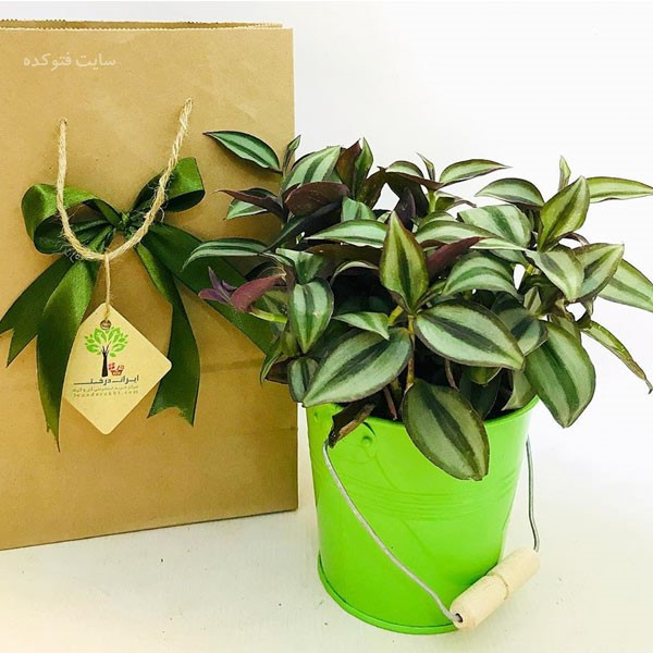 نحوه پرورش گل برگ بیدی سبز در خانه و  آپارتمان