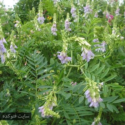 گیاهان طب سنتی برای دیابت با گیاه گالگا