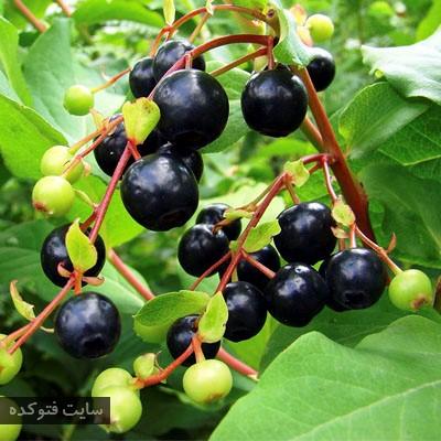 سیاه گیله برای درمان دیابت