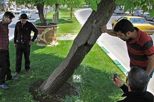 ماجرای گریه درخت شفابخش در همدان با عکس,اشک رختن درخت در همدان,عکس درخت شفابخش همدانی,عکس درختی که در همدان گریه میکند,عکس جوشیدن آب از درون درختی در همدان