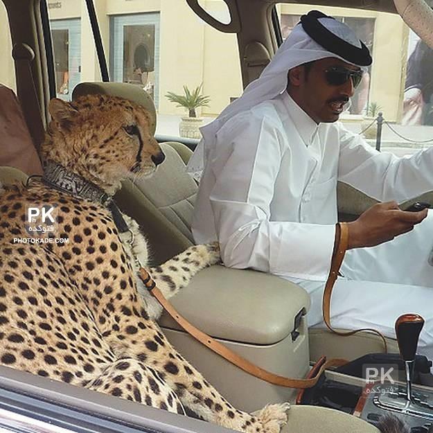 عکس های جالب از دبی,عکس های از حیونات خانگی وحشی در دبی,عکس یوزپلنگ خانگی در دبی,عکس شیر خانگی در دبی,عگس های عجیب از دبی,تصاویر جالب از دبی,عکسهای خفن دبی