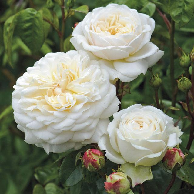 عکس گل رز سفید و زر عاشقانه و احساسی