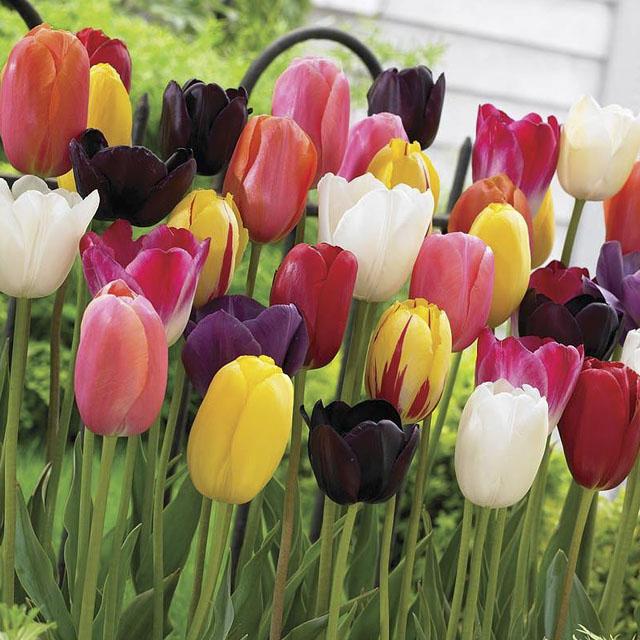 عکس پروفایل گل لاله زیبا و عاشقانه