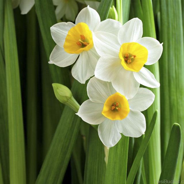 عکس گل سوسن برای پروفایل و زمینه گوشی