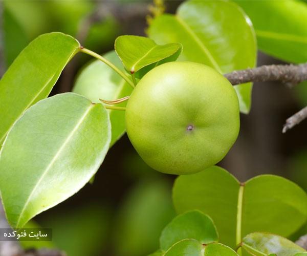 سیب ساحل از میوه های خطرناک