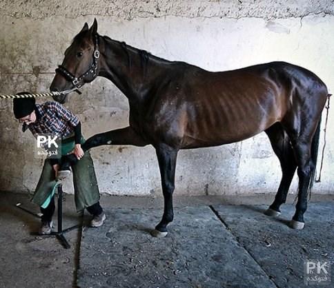 عکس های تنها دختر نعلبند ایرانی فرناز هاشمی,نعلبندی دختر ایرانی,فرناز هاشمی کیست,عکس تعلبند اسب توسط دختر مجرد ایرانی,تنها زن نعلبند در ایران,نعلبنید اسب
