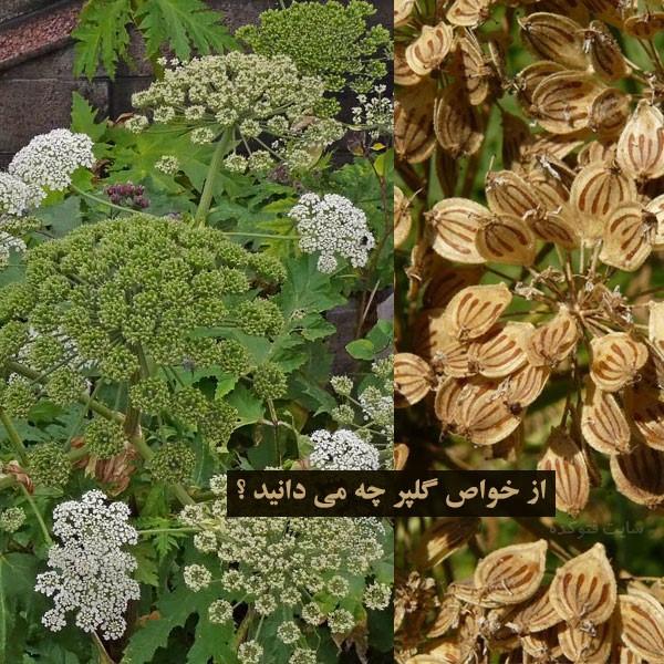 فواید گیاه گلپر در طب سنتی