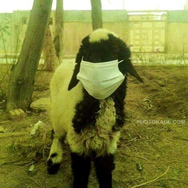 عکس گوسفند اهوازی پربیننده شد,عکس جالب و خنده دار گوسفند