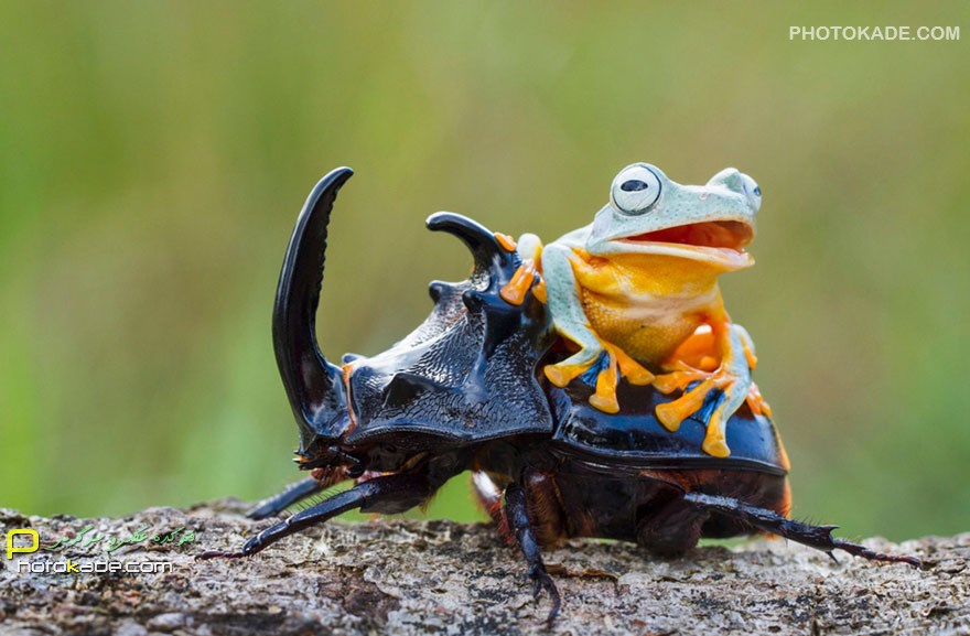 عکس های سوسک سواری قورباغه,عکس جالب از حیوانات,عکس های خنده دار حیوانات,عکس سوسک سواری توسز قورباغه خوشحال,شوخی قورباغه و سوسک,قرباغه هی برو حیوون,سوسک خر