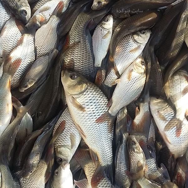خاصیت گوشت ماهی کپور برای سلامتی که باید بدانید