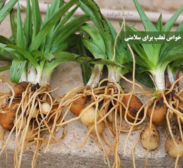 خاصیت و مضرات گیاه و پودر ثعلب