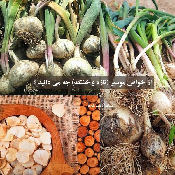 خواص موسیر در طب سنتی بصورت تازه و خشک شده