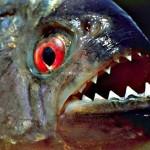 حمله ماهی پیرانا به ساحل آمریکا با عکس