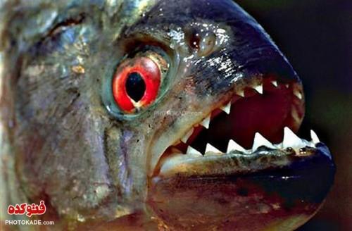 حمله ماهی پیرانا به ساحل آمریکا با عکس,ماجرای جماه ماهی های گوشت خوار به پارتی ساحل دریا,ماهی گوشت خوار پیرانا,عکس حمله ماهی های گوش خوار پیرانیا به مردم در ساحل آمریکا,عکس های وحشتناک از حمله ماهی های گوشت خوار به مردم در آمریکا,جمله ماهی های گوشت خوار,فیلم پیرانا