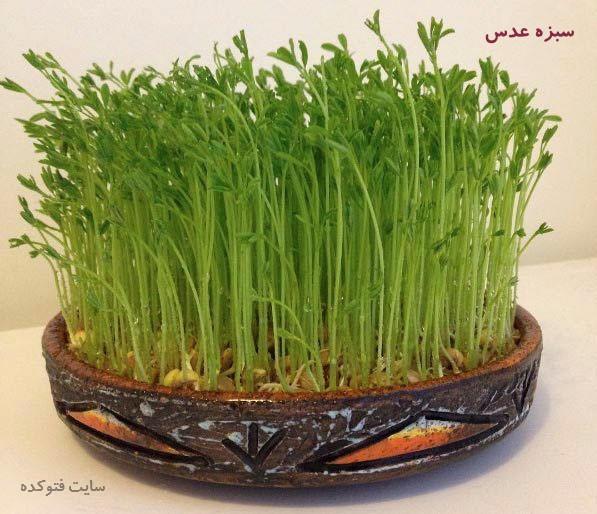 آموزش طرز تهیه سبزه عدس برای عید نوروز