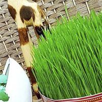 آموزش انواع سبزه عید نوروز 97 + نحوه کاشت با عکس