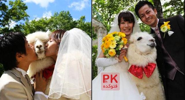 عکس بامزه ترین ساقدوش,عجیب ترین ساقدوش در دنیا,عکس های ساقدوش باحال و جالب این عروس داماد,عکس های شتری که ساقدوش عروس و داماد میشود,عکس جالب از ساقدوش
