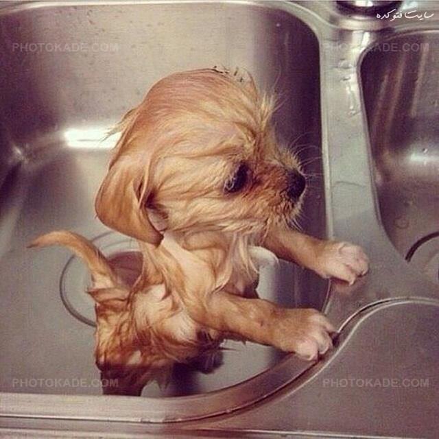 عکسهای سگ های زیبا و دوست داشتنی,عکس سگ,عکسهای سگ ناز,عکس سگ خوشگل,عکسهای سگ ایرانی,عکس سگ خانگی زیبا,تصاویر حیوان خانگی سگ,ax sagh khanegi,سگ خوشگل و قشنگ