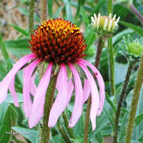 درمان عفونت واژن در طب سنتی با گیاه اکیناسه