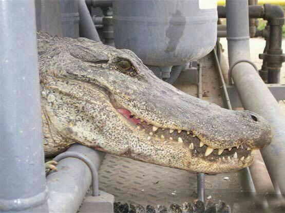 گاف خبری تمساح تگزاس در عسلویه,تمساح عسلویه,عکس تمساح در عسلویه,عکس خوردن تاسیسات عسلویه توسط تمساح,گاف خبری خفن,دروغ خبرگزاری مهر,حمله تمساج به عسلویه