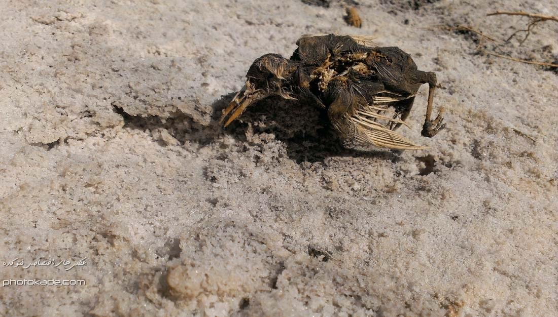 عکس درناهای مرده دریاچه ارومیه , عکس درنا دریاچه ارومیه 93 , دریاچه ارومیه خشک شد