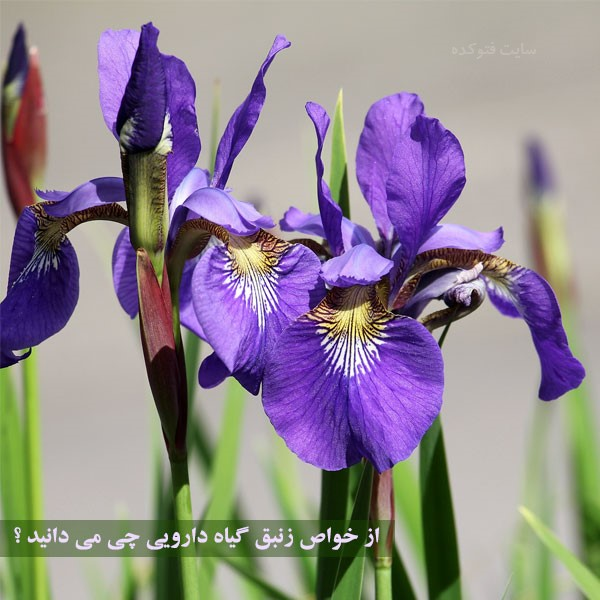 خواص گیاه زنبق برای سلامتی بدن چیست