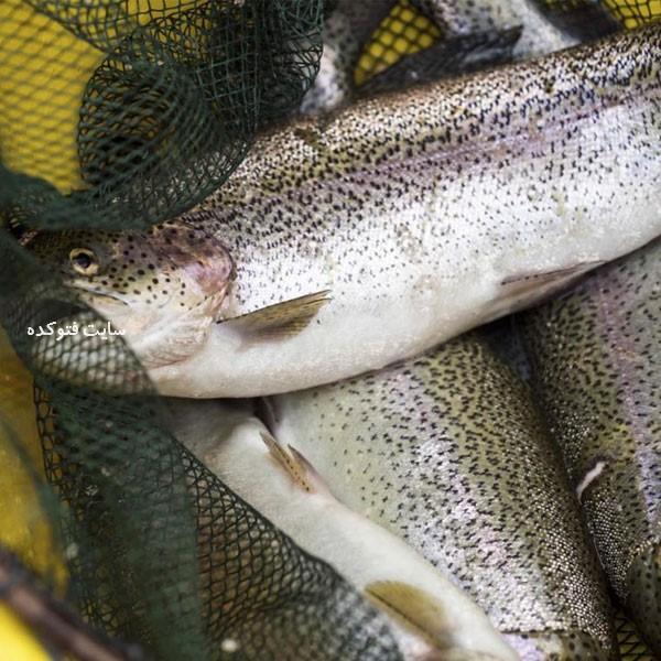 برای سرماخوردگی چه بخوریم ماهی سالمون وحشی